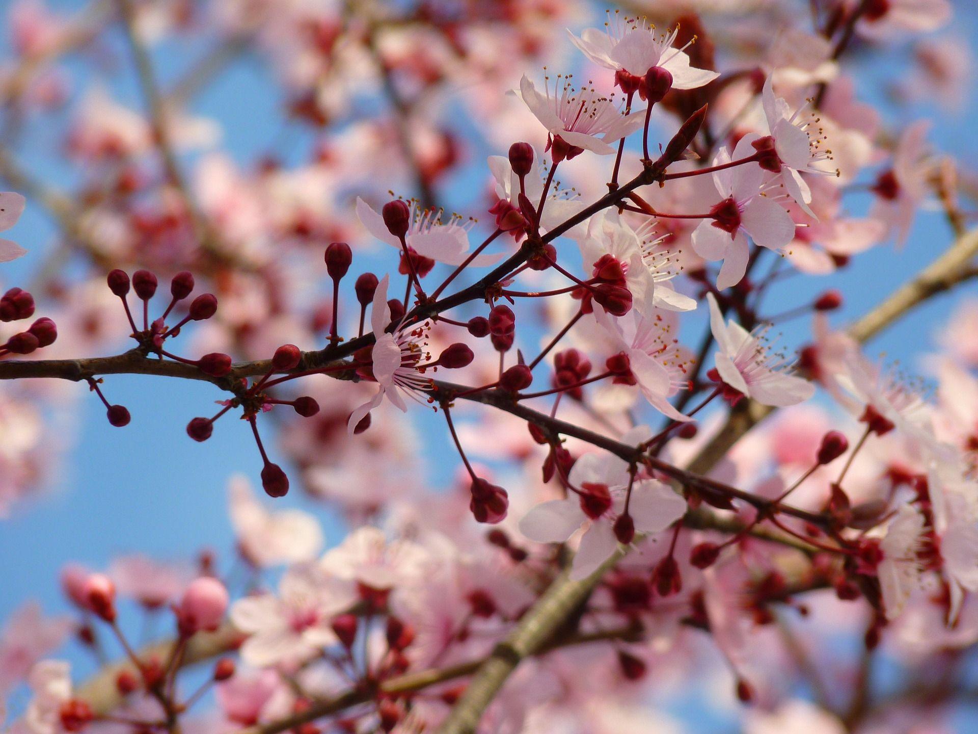 La frontera portuguesa inicia las Fiestas de la Floración del Almendro